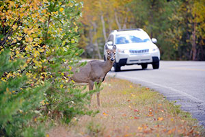 Wildlife and Car Collisions
